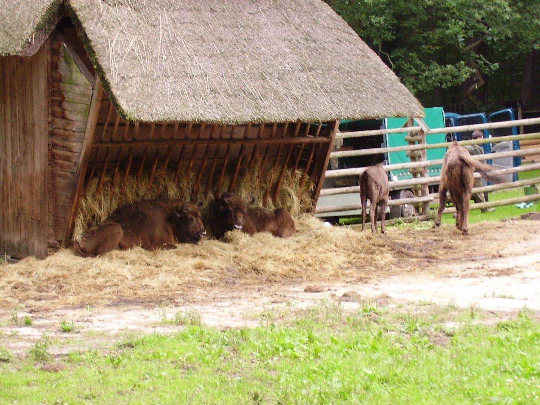 European Bison Sanctuary - Wolin National Park