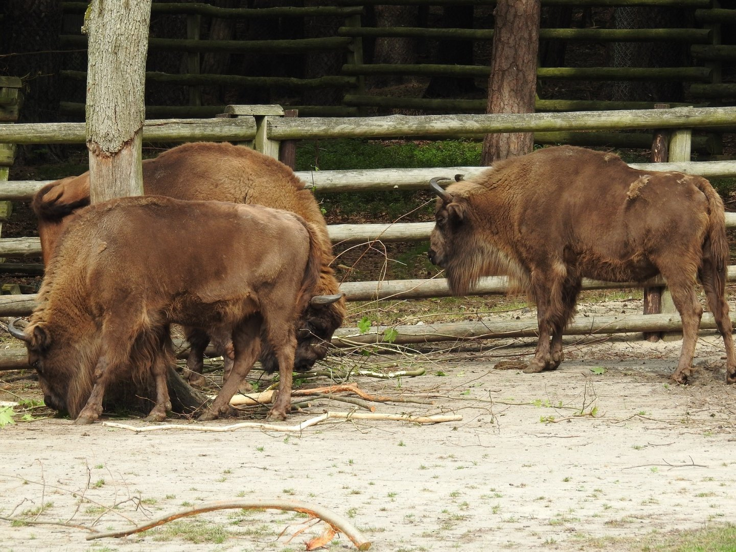 European Bison Sanctuary - Wolin National Park